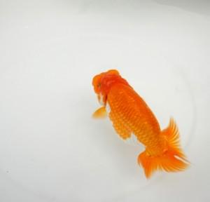金魚の意味や誕生の経緯|役立ち情報ナビ