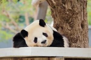 ジャイアントパンダ/ジャイアントパンダとレッサーパンダ何故両方パンダ?|ニュートラルな日々