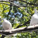 ハトが平和の象徴と呼ばれるのは何故か|役立ち情報ナビ