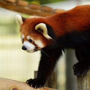 レッサーパンダ/ジャイアントパンダとレッサーパンダ何故両方パンダ?|ニュートラルな日々