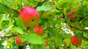 リンゴ狩りができる時期について|役立ち情報ナビ